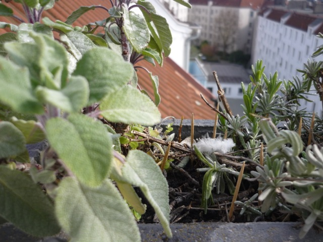 Zahnstocher im Blumenkasten zur Taubenabwehr