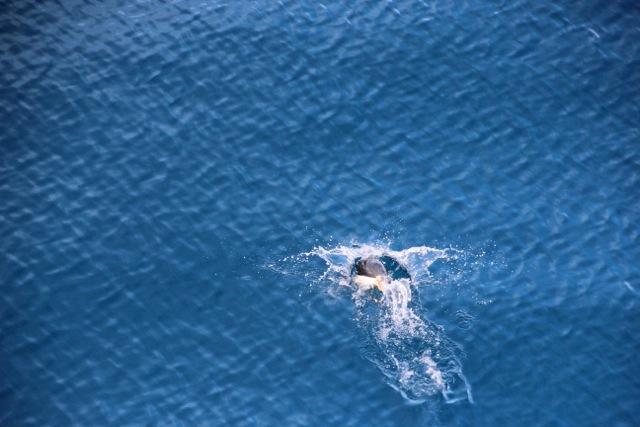 und schwimmen häufig dicht unter der Wasseroberfläche
