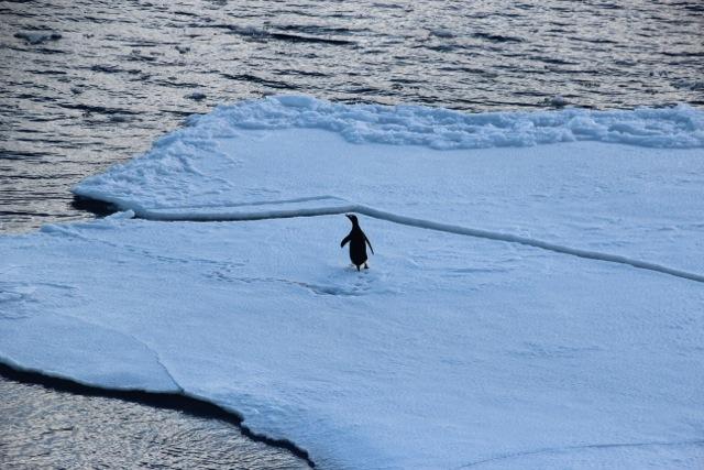 auf geschreckter Pinguin auf Deception Island
