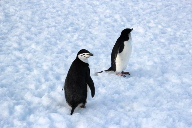 die Pinguine auf Halfmoon Bay scheinen auf uns zu warten