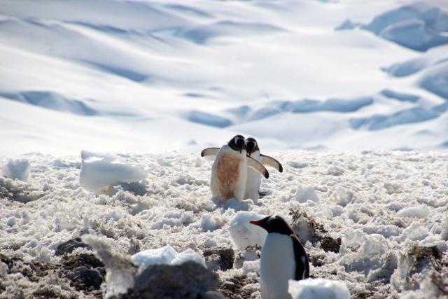mühselig ist der Weg zum Wasser auf Neko Habour für die Pinguine