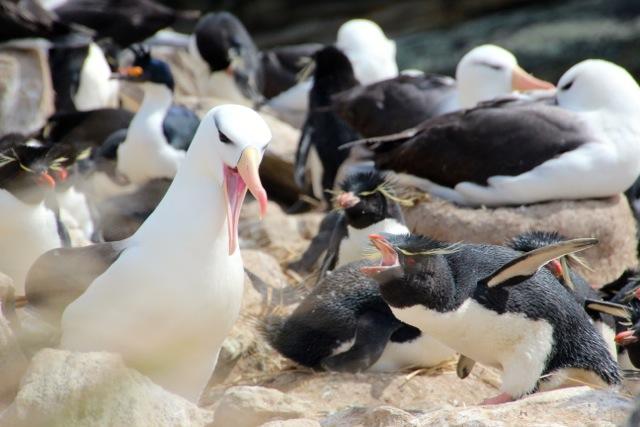 Rockhopper und Albatrosse schimpfen auf New Island miteinander