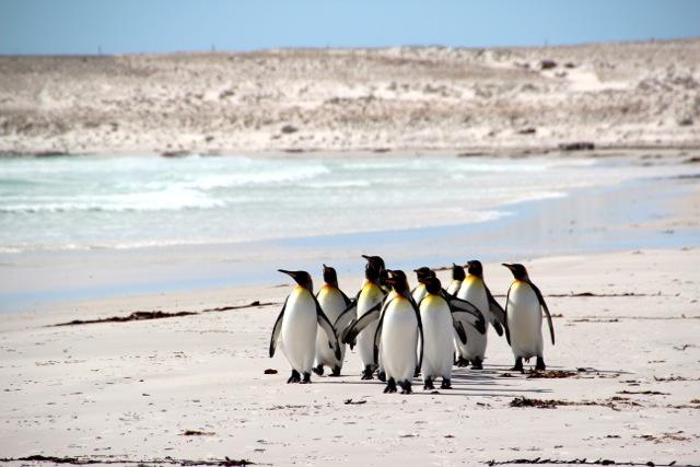Pinguine schlendern über den Volunteer Beach