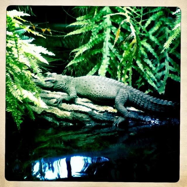 dem Alligator ist das Wette egal – bei ihm ist es immer warm