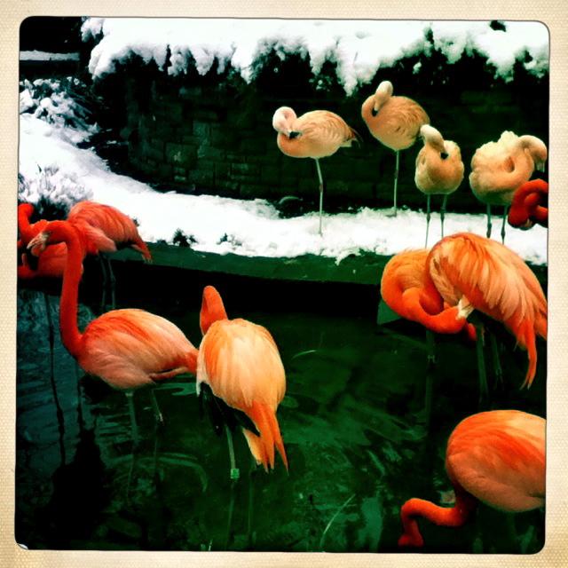 im Leipziger Zool trotzen die Flamingos der Kälte