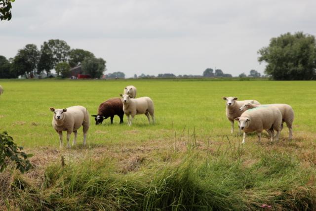 noch mehr Neugierige Schafe am Wegesrand
