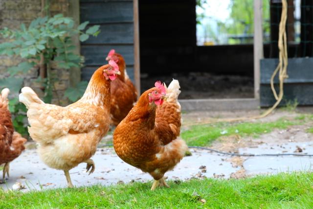 Hühner liefern die Eier zum Frühstück