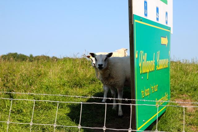 Schafe trifft man überall