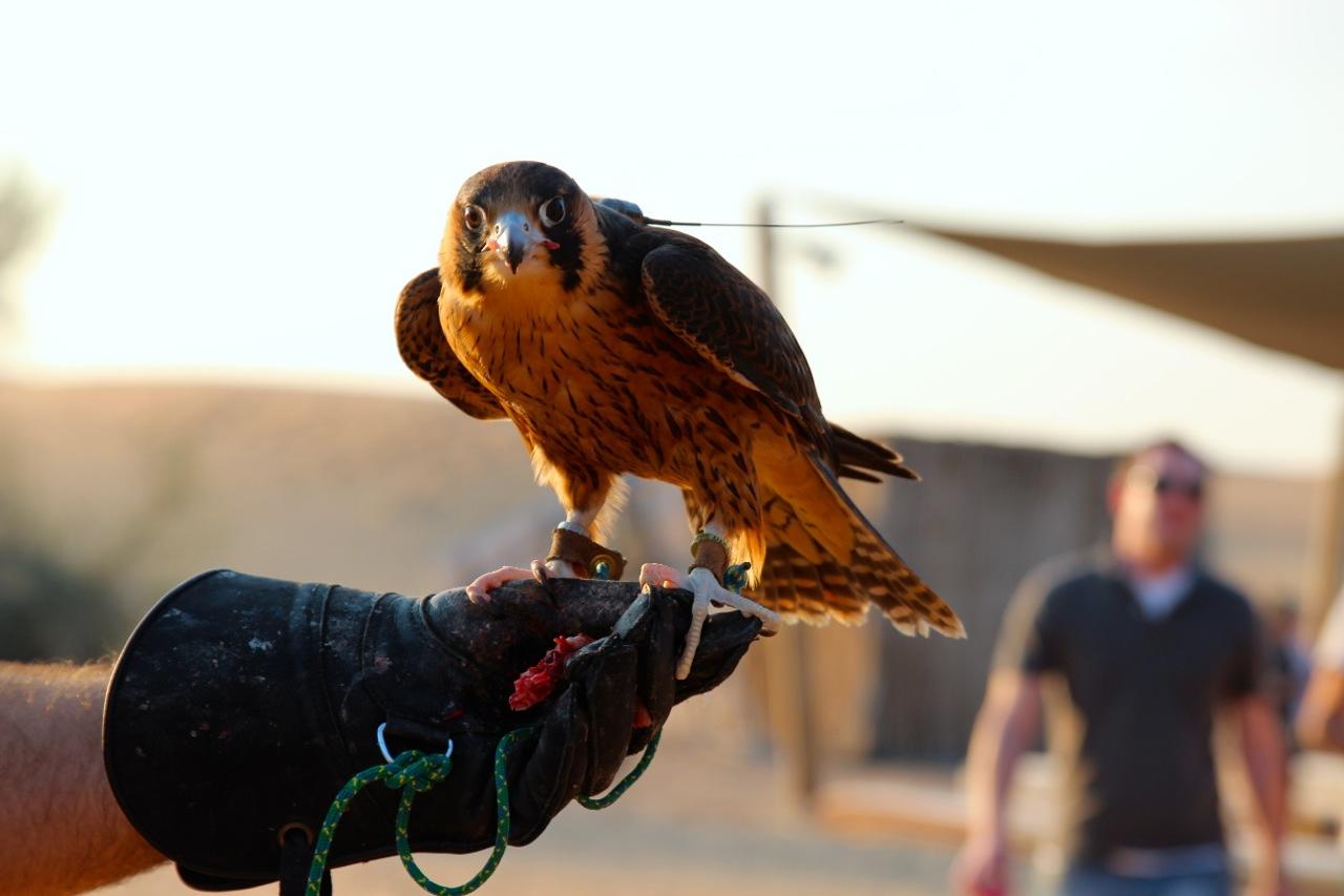 der Falke starrt uns an