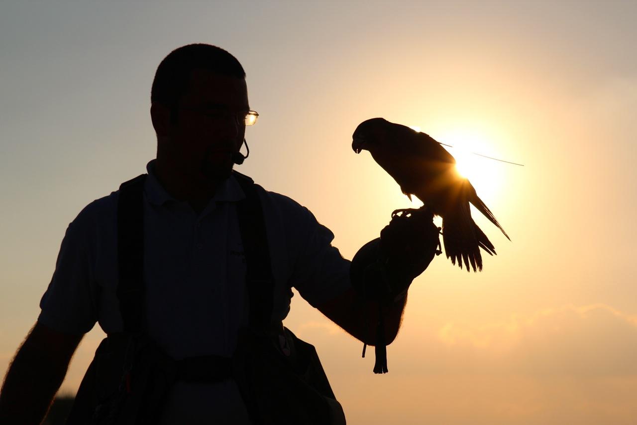 noch hat der Falke die Kopfbedeckung auf