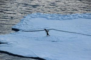 ein Pinguin erschrickt sich