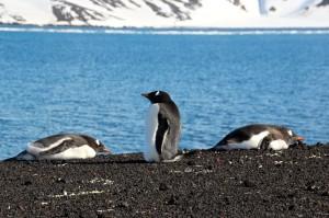 die Insel ist fest in der Hand von Pinguinen