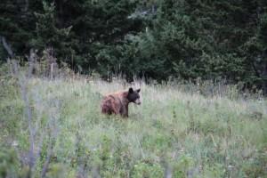 Bären und Einsamkeit: ein brauner Schwarzbär