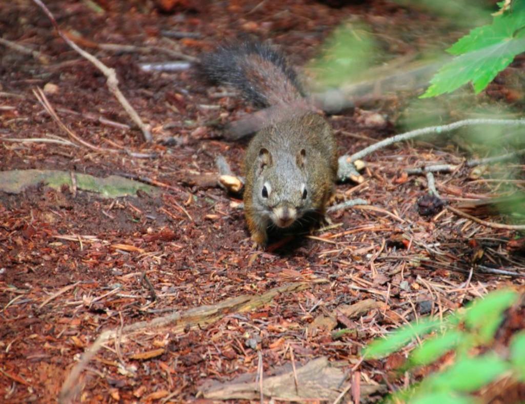 süße Eichhörnchen im Waterton-Lakes-Nationalpark