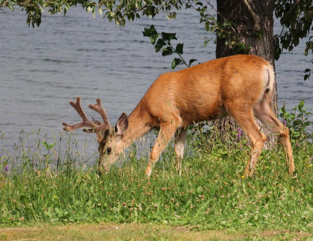 Hirsche überall in Waterton