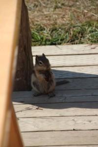 das Erdhörnchen frisst in aller Ruhe auf unserer Terrasse