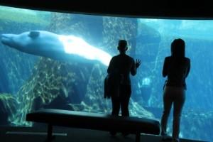 Die weißen Beluga-Wale sind eine Touristen-Attraktion