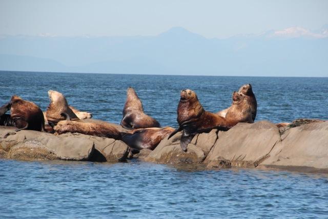 Seelöwen sonnen sich vor der Küste Vancouvers