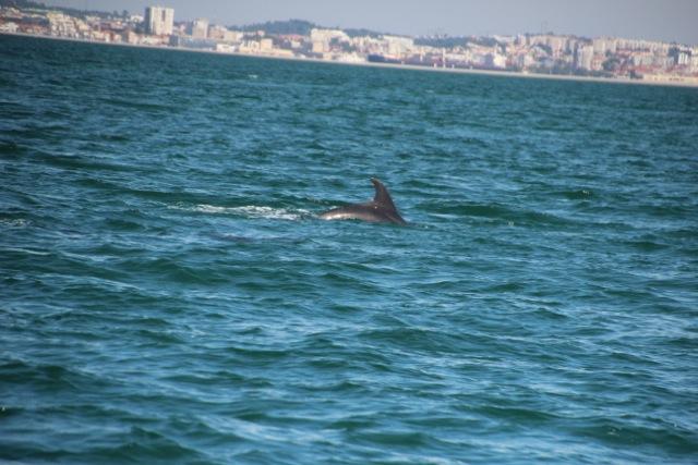 vor Setúbal lebt eine Population von rund 30 Delfinen
