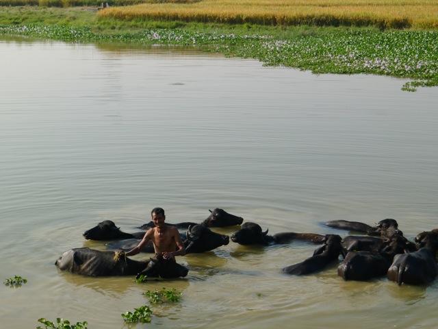 vor den Feiertagen werden die Wasserbüffel gewaschen