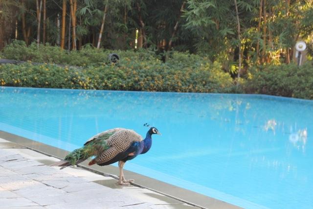 ein Pfau am Pool