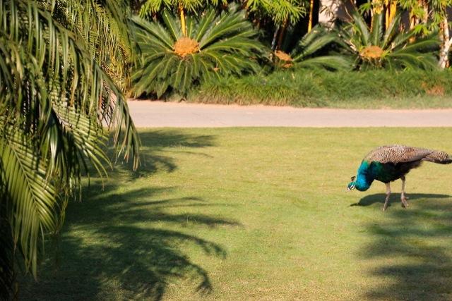 ein Pfau pikt im Garten