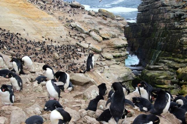 Am steilen Fels nisten einige zigtausend Albatrosse, Blauaugenkormorane und Felsenpinguine