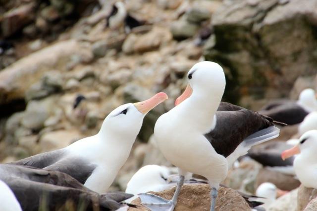 Kommunikation zwischen Albatrossen