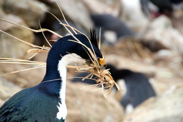 Blauaugenkormorane mit Gras fürs Nest