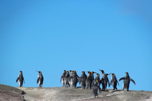 am Volunteer Beach lebt die größte Königspinguin-Kolonie der Falkland Inseln