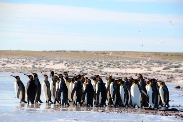 daher warten die Pinguine lieber, bis die Seebären verschwunden sind