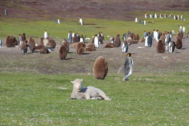 Friedliche Koexistenz: Schafe und Pinguine teilen sich eine Wiese