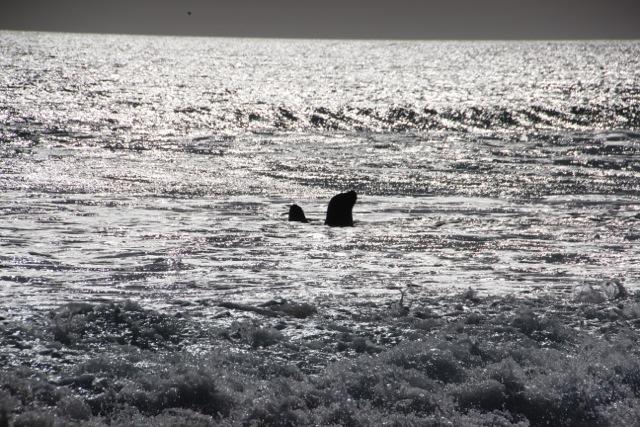 Seebären warten auf Nahrung..