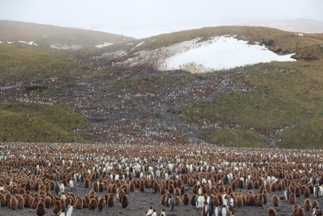 Mehr als 50.000 Königspinguine leben hier – was man auch riechen kann...