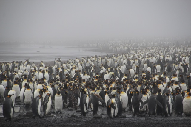 Pinguine so weit das Auge reicht auf Salisbury Plain