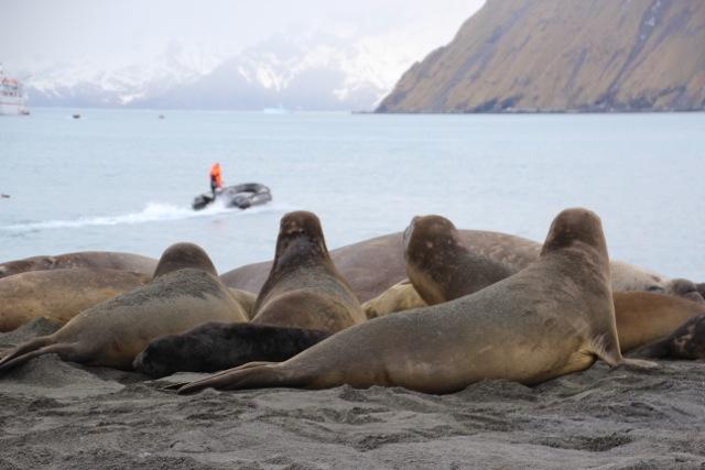Einst war der Strand von Gold Harbour ein Reiseziel vor allem für Robbenjäger, heute besuchen nur noch Touristen die keine Scheu zeigenden Seeelefanten