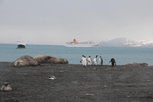 Empfangskommitee: Am Strand von Gold Harbour warten Königspinguine und Seeelefanten