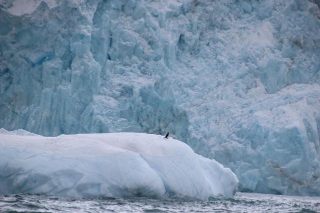 Für den Pinguin ist der Eisberg sein Zuhause