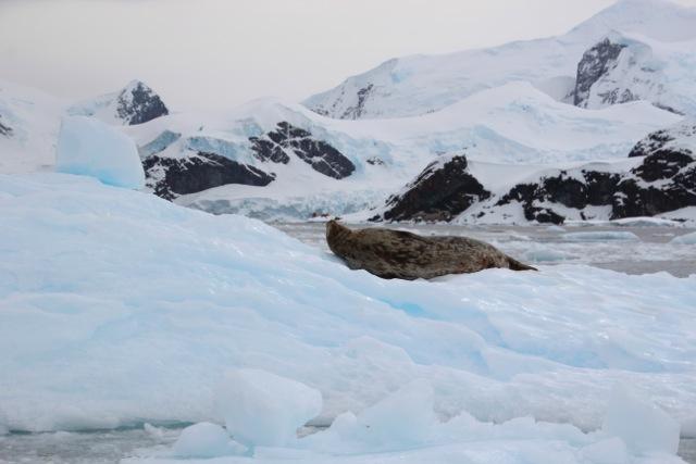 Wedellroben räkeln sich auf dem Eis