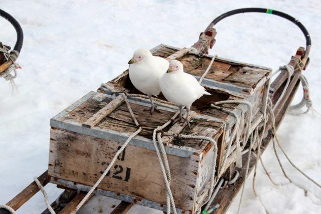 Zwei Weißgesicht-Schneidenschnäbel ruhen sich auf dem Hundeschlitten einer früheren Expedition aus