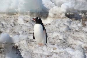 der letzte Pinguin ...