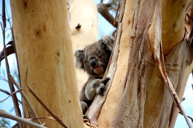 Ein kurz aufgewachter Koala