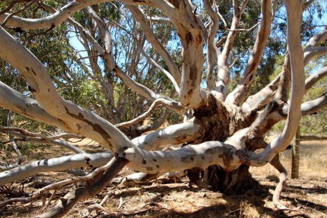 knochiger Eukalyptus