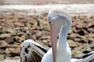 hier lebt auch eine Pelikan-Kolonie