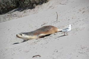 Am sandigen Seal-Bay rutschen die Robben bäuchlings die Dünen herab