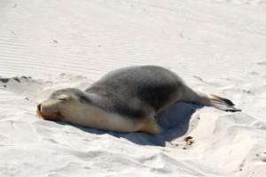 entspannte Robben am Strand
