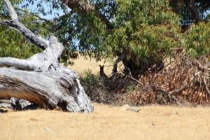 Wer genau hinsieht, erkennt die Kängurus zwischen den Baumstämmen