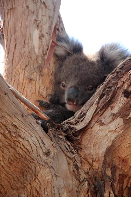 Niedliche Plage: Koalas fressen nur die Blätter bestimmter Eukalyptus-Arten