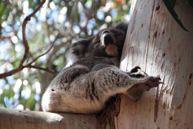 Faultier: Koalas schlafen bis zu 18 Stunden am Tag