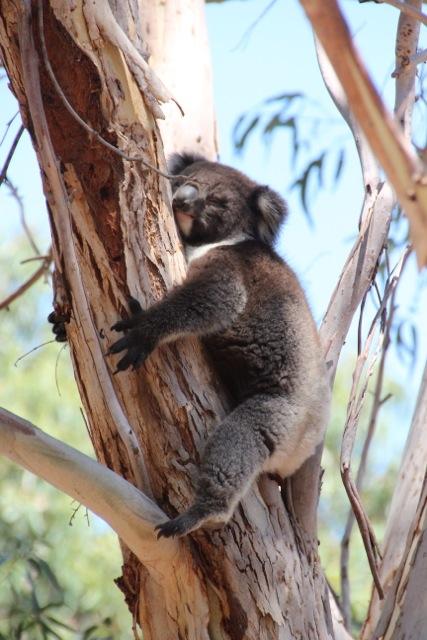 Auf Kangaroo Island gibt es mehr Beutelbären, die streng genommen keine Bären sind, als der Vegetation gut tut